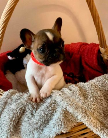 les-jardins-d-isidore-elevage-eleveur-bouledogue-francais-comportementaliste-canin-chien-chiot-male-femelle-naissance-adopter-mariage-nimes-gard-chiots-1