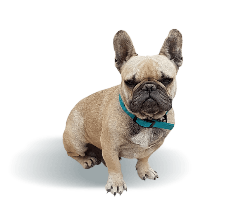 ISIDORE les-jardins-d-isidore-elevage-eleveur-bouledogue-francais-chien-chiot-male-femelle-naissance-adopter-mariage-nimes-gard-isidore-transparent-2